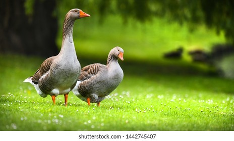 Greylag goose (anser anser) feeding on green flower meadow. Grey geese looking at me.