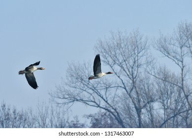 greylag goose (Anser anser) in flight,Tovacov,Czech
