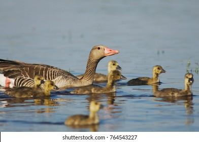 Greylag Goose, Anser anser, National Park Lake Neusiedl, Burgenland, Austria, April