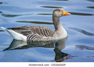 A Greylag Goose (Anser anser) swimming on a lake
