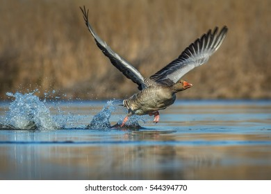 Greylag goose (anser anser) taking of from water in its habitat. Greylag goose starting of from water.  Greylag goose with open wings running on water.  Action scene with open wings.