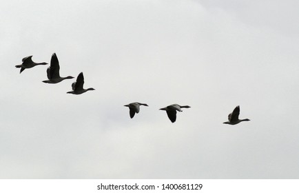 The greylag goose (Anser anser) travel to their northerly breeding grounds in spring, nesting on moorlands, in marshes, around lakes and on coastal islands