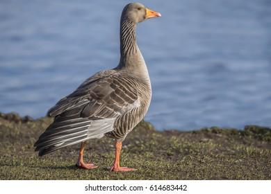 Greylag goose beside a loch, close up