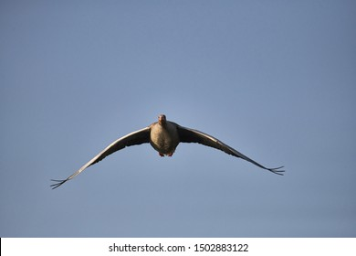 Greylag goose in flight, front view