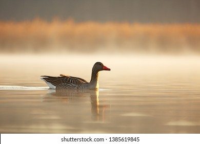 greylag goose float on surface of the lake