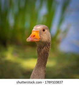 Greylag Goose Head profile only