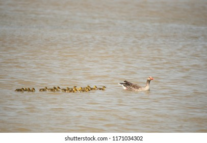 greylag goose mother with many cubs swimming on the lake - Burgenland Austria