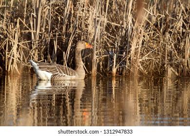 Greylag goose in nature reserve Oude Kene, the Netherlands