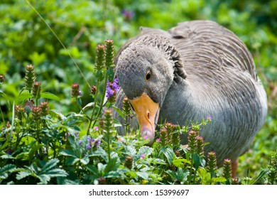 A greylag goose searching for food