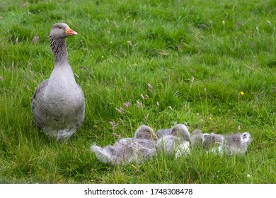 A greylag goose sits with its young in a meadow. The goslings are sleeping. The mother looks after the little ones.