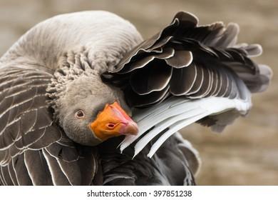 Grey-lag Goose, Toulouse Goose
