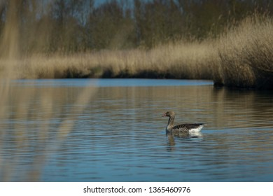 Greylag goose in typical scenery