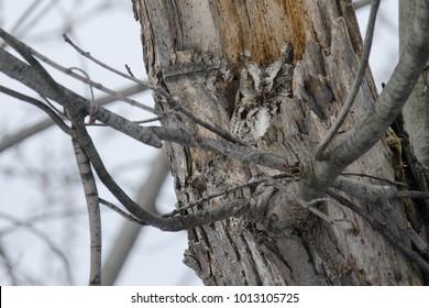 Grey-morph Eastern Screech Owl attempting to sleep in a tree cavity. Woodland Cemetery, Burlington, Ontario, Canada.