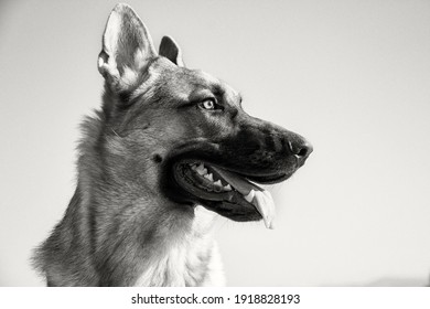 Greyscale head portrait of a German Shepherd dog looking to the side panting with tongue out in close up against cloudless sky