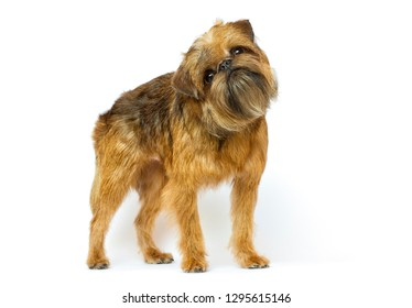 Griffon breed dog looks on a white background