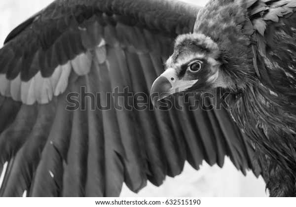 Griffon Caucasian with wing - black and white