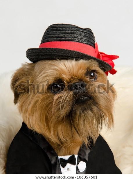 Griffon dressed like a bridegroom in tuxedo