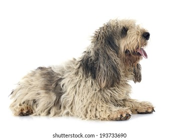 griffon vendeen in front of white background