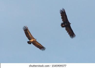 griffon Vulture and black Vulture