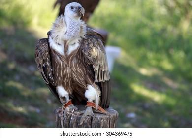 Griffon Vulture: Buitre Leonado - Gyps fulvus