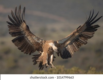 Griffon vulture coming down