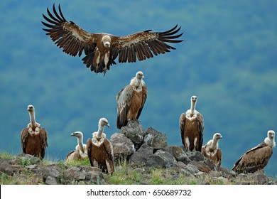 Griffon Vulture, Gyps fulvus, big birds of prey sitting on the stone on rocky mountain, nature habitat, Madzarovo, Bulgaria, Eastern Rhodopes. Wildlife scene from Balkan.
