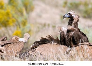 Griffon Vulture, Gyps fulvus, Black Vulture or Cinereous Vulture (Aegypius monachus) carrion birds, spain