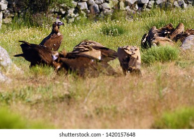The griffon vulture (Gyps fulvus) and black vulture  (Aegypius monachus) on the feeder. A typical way to open a carcass with a large scavenger.