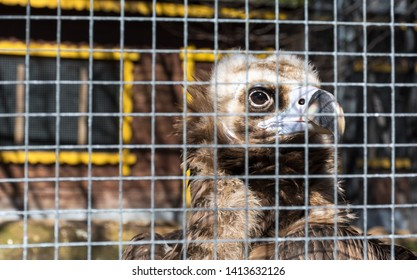 Griffon Vulture (Gyps fulvus) in a cage, captive. looking directly into camera. Concept of cruel treatment