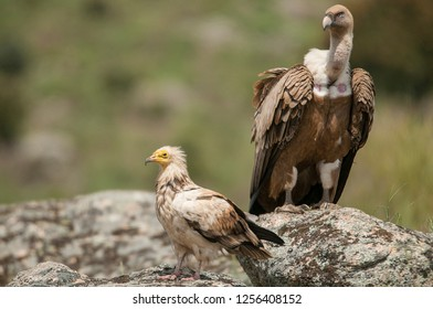 Griffon Vulture (Gyps fulvus) Egyptian Vulture (Neophron percnopterus), carrion birds, Spain