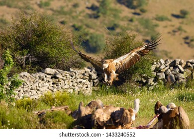 The griffon vulture (Gyps fulvus) flock of vultures on the rock with brown background. The vulture goes into a flock of other vultures.
