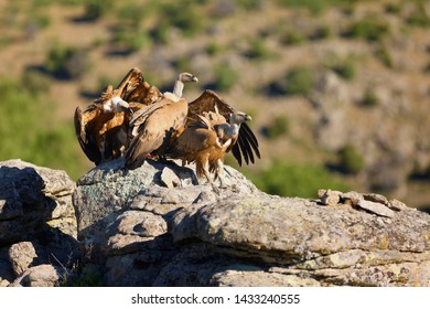 The griffon vulture (Gyps fulvus) flock of vultures on the rock with brown background. Vultures with mountains in the background.