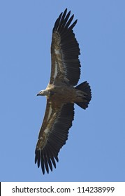 Griffon Vulture (Gyps fulvus) flying in central Spain