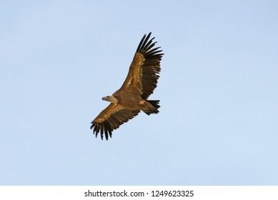 Griffon Vulture (Gyps fulvus) flying in Algodonales Spain.