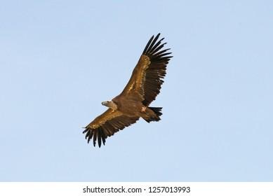 Griffon Vulture (Gyps fulvus) flying in Algdonales Spain.
