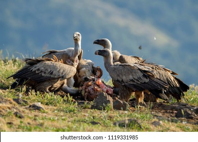 Griffon Vulture - Gyps fulvus, large brown white headed vulture from Old World and Africa.