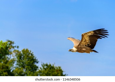 The griffon vulture (Gyps fulvus) is a large Old World vulture in the bird of prey family Accipitridae. It is also known as the Eurasian griffon.