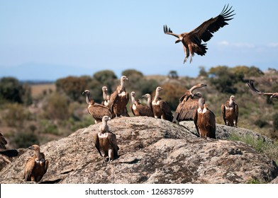 Griffon vulture, Gyps fulvus, large birds of prey sitting on the stone in a mountain