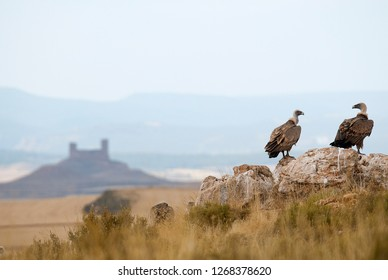 Griffon vulture, Gyps fulvus, large birds of prey sitting on the stone in a mountain with a castle