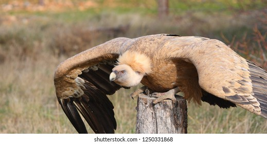 Griffon Vulture Gyps fulvus Leonado, except rémiges and rectrices very dark brown; head and neck bare, with little white down; feathers at the base of the neck, white in adults, brown in young
