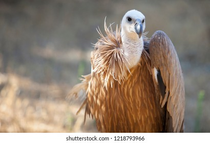 Griffon Vulture or Gyps fulvus perched, Extremadura, Spain