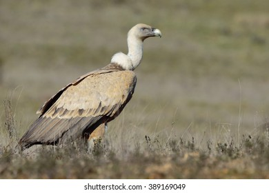 Griffon vulture (Gyps fulvus), perched on the floor
