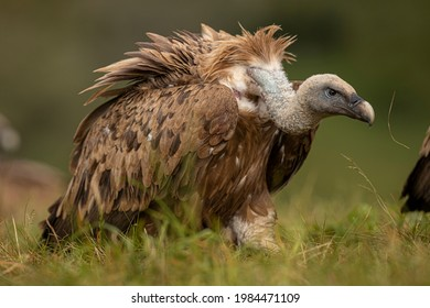 Griffon Vulture (Gyps fulvus) portrait, Castile and Leon, Spain.