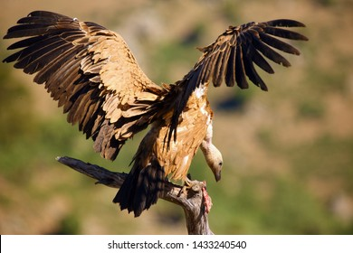 The griffon vulture (Gyps fulvus) sitting on the branch with colorful background. Vulture with mountains in the background.Big vulture with spread wings.