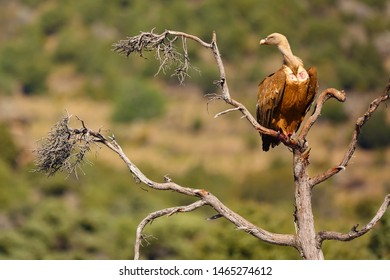 The griffon vulture (Gyps fulvus) sitting on the branch with colorful background. Vulture with mountains in the background.Vulture on branch.