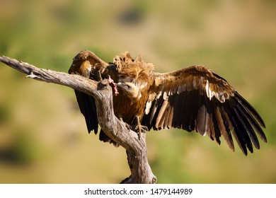 The griffon vulture (Gyps fulvus) sitting on the branch with colorful background. Vulture with mountains in the background.Big vulture with spread wings and rest of eagle prey.