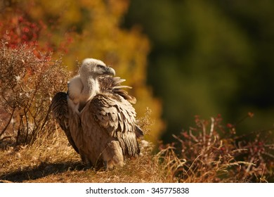 Griffon Vulture Gyps fulvus sitting on the edge of cliff,  distant autumn colorful Pyrenees forest as a background.