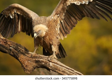 Griffon Vulture Gyps fulvus sitting on the old branch and with outstreched wings, distant autumn colorful Pyrenees forest as a background.