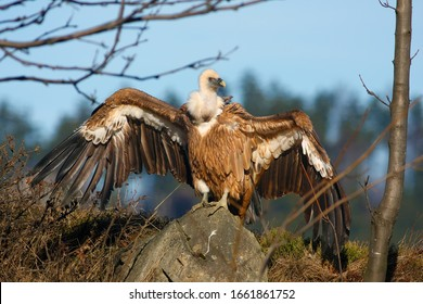 The griffon vulture (Gyps fulvus),with outstretched wings,with a background of forest, falconry led by predator. Big vulture sitting with wings outstretched in forest.