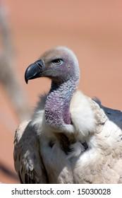 Griffon vulture head